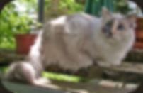 ragamuffin kitten tortie point