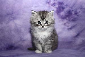 Dre, the ragamuffin kitten