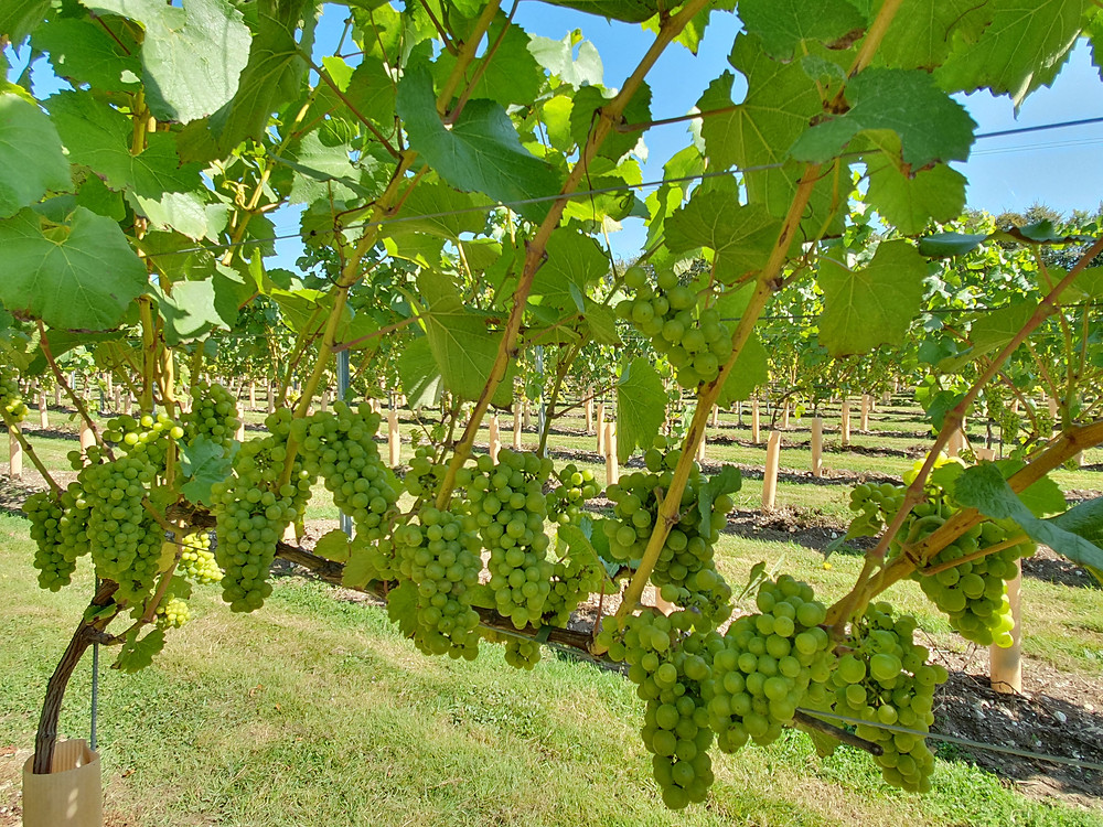 Gorgeous quality Chardonnay grape bunches used to make our English Sparkling Wine