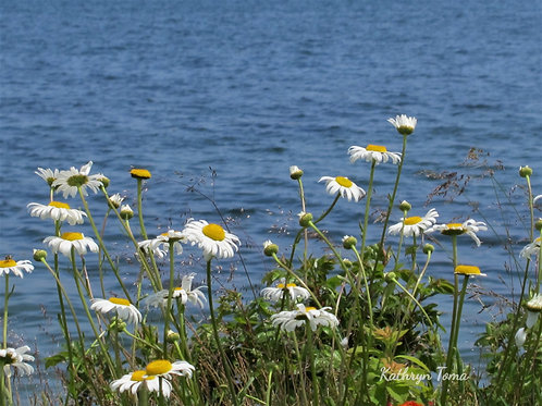 Field of Daisies  4328