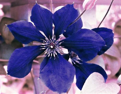 fiore-indaco--800x625_edited.jpg