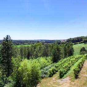 Our grape vines