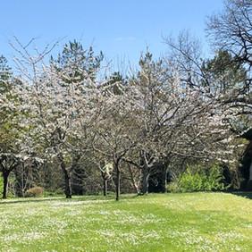 Gardens - cherry blossom