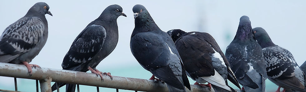 Pigeon Control, By Marvel Pest Control L