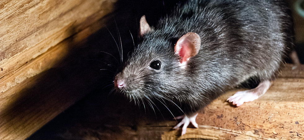 Rat Control London By Marvel