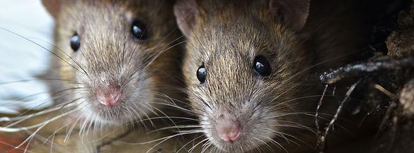 Rat Control, By Marvel Pest Control Ltd