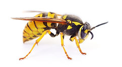 Yellow wasp isolated on a white backgrou