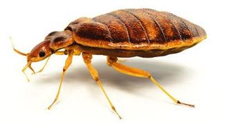 Bedbug_edited.jpg