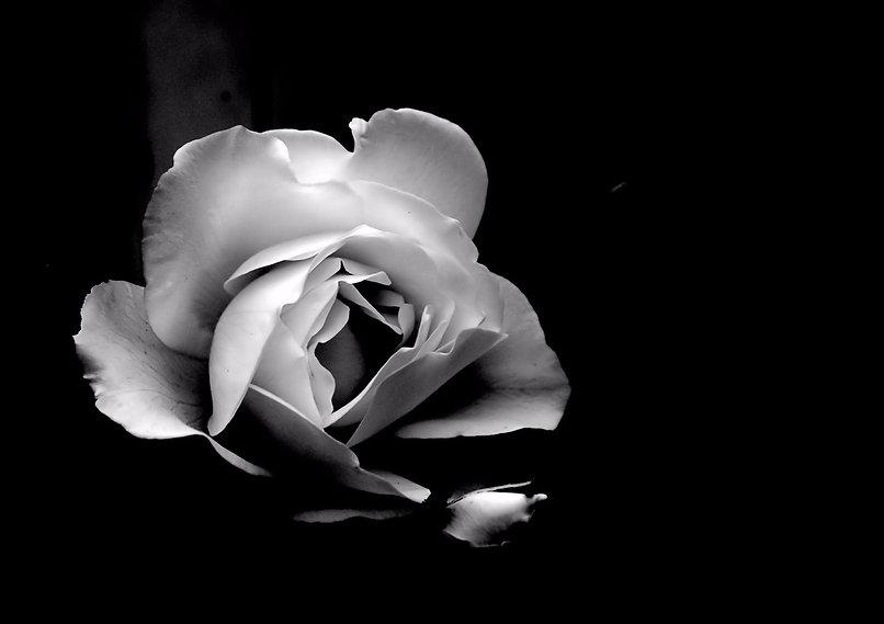 single-white-rose-black-background.jpg
