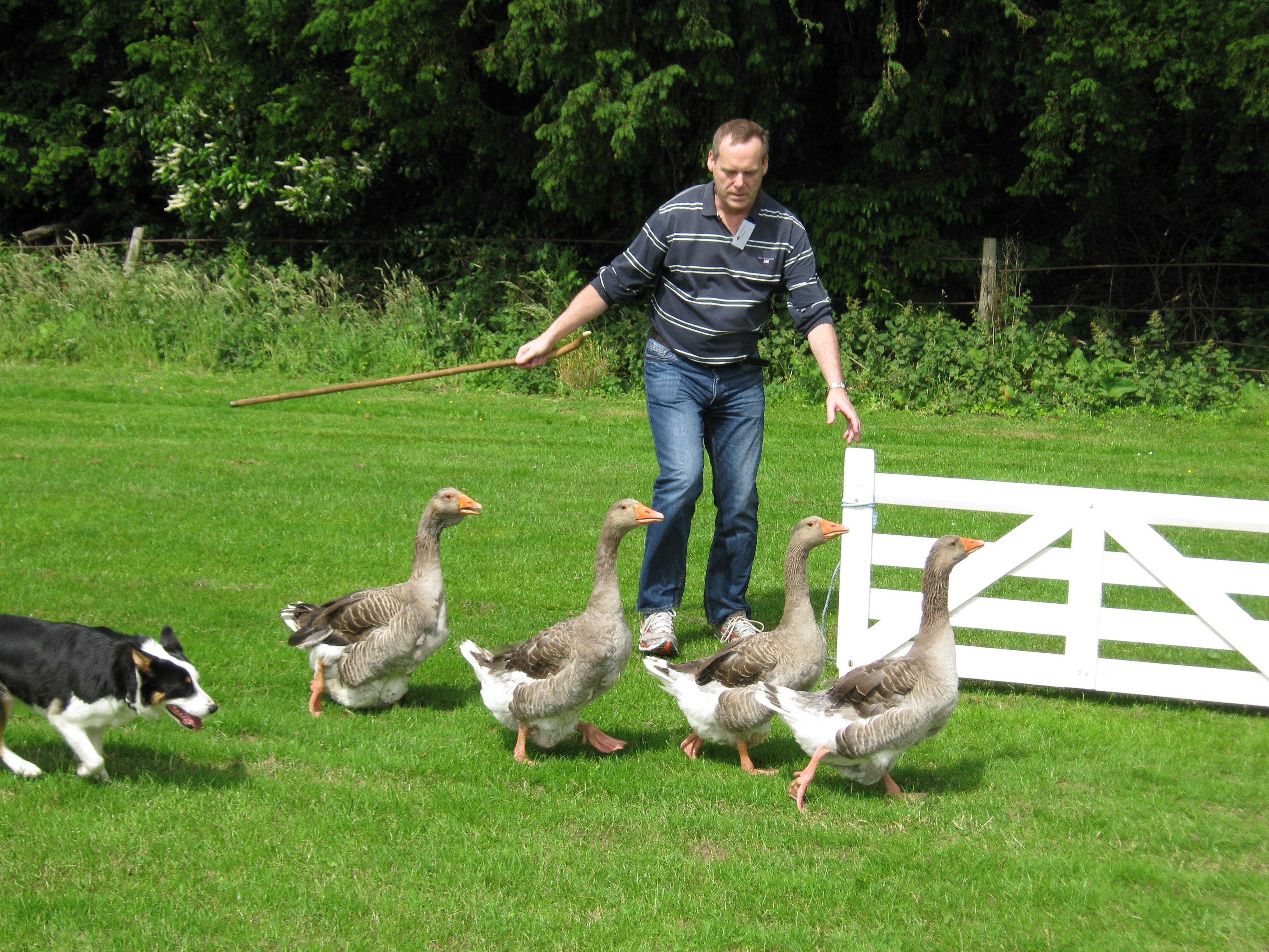 Sheepdog and Duck Herding
