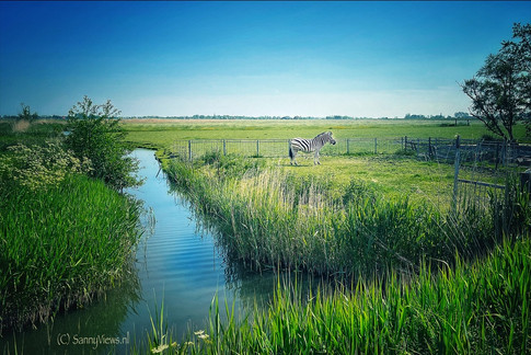 Zebra in Holland