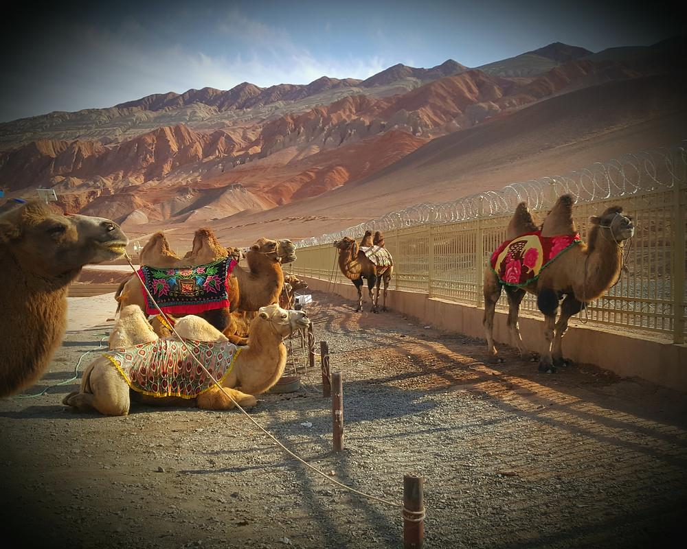 camels china