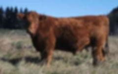 fat+steer.jpg