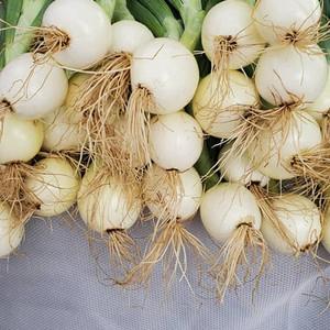 bulb onions 2020