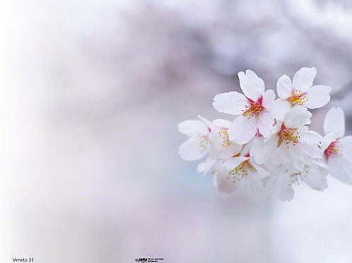 Kirschblüte-Veneto33 - ab 10 Stück inkl. Druck