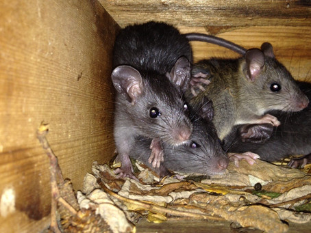 How to Get Rats & Mice Out of Your Home or Apartment FAST