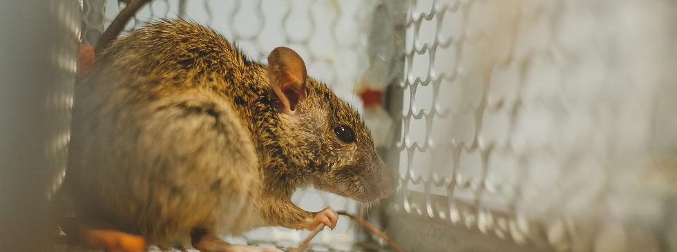 Nuisance-wildlife-marshals-rat.jpg