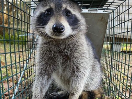 How are Raccoons Getting into my Attic?
