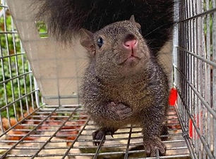 This squirrel was humanely trapped and removed from an office space in Winter Park, FL. This squirrel caused damage to the sofit panel area by chewing through it so we trapped it and removed it.