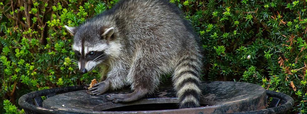 Nuisance-wildlife-marshals-raccoon-2.jpg