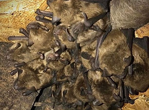 Bats can be a huge nuisance in the Central Florida area. Our team removed all of these bats safetly and sealed their entry point to the customers attic space.