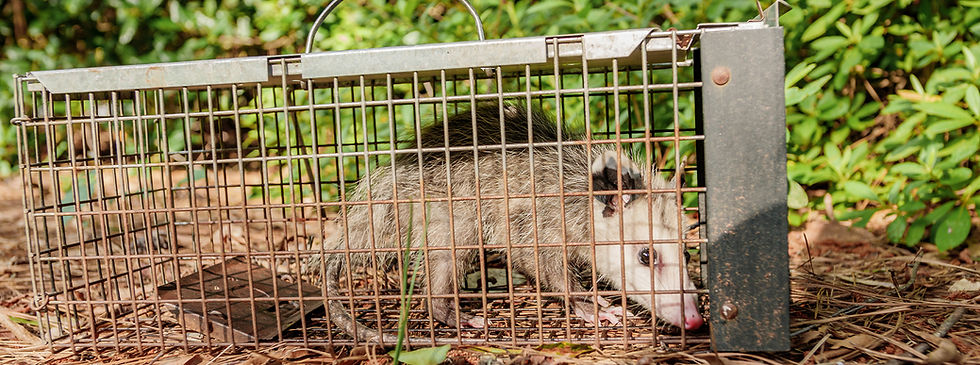 Nuisance-wildlife-marshals-raccoon.jpg
