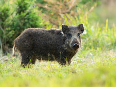 Wild Hogs: Florida's No. 1 Threat to Your Home & Property