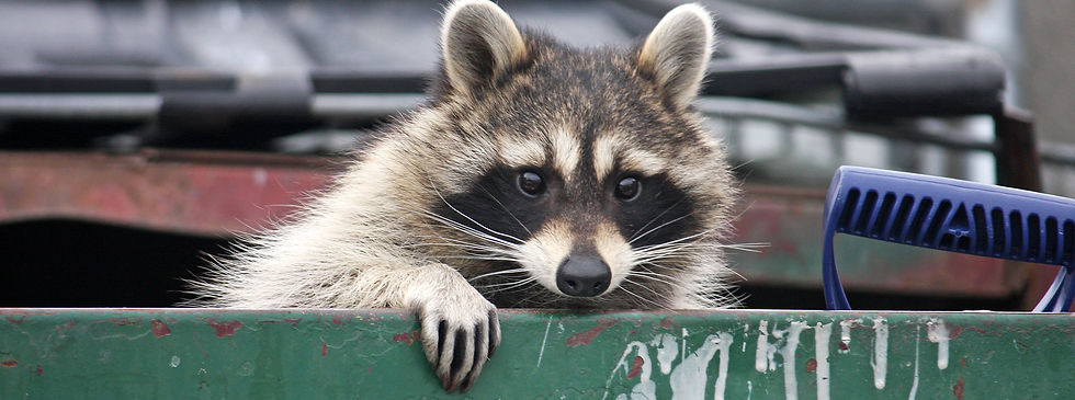 Pesky raccoon was removed from a dumpster in Orlando, FL