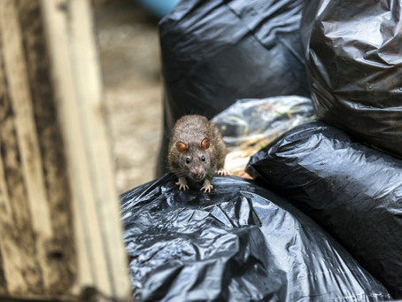 Five Reasons You Should Have a Rodent Removal Service Remove Your Rats