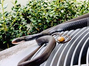 This snake found it's way around someones home so they called Nuisance Wildlife Marshals to remove it and we did!
