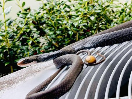 Common Types of Florida Snakes (Venomous & Non-Venomous)