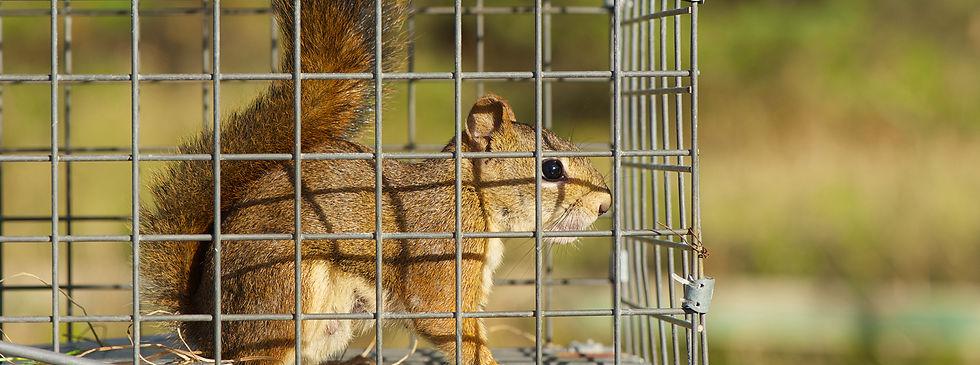 Nuisance-wildlife-marshals-squirrel.jpg