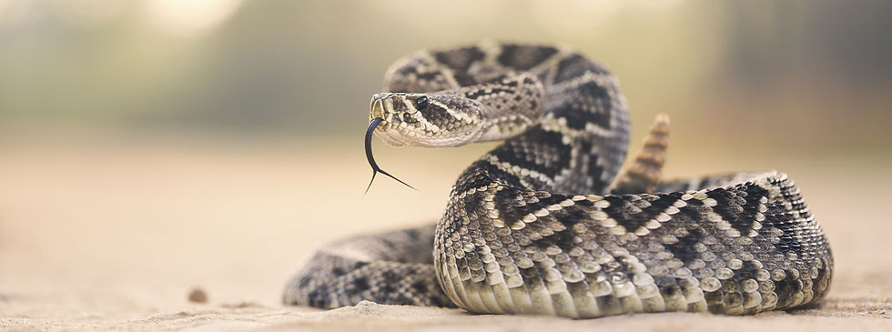 Rattlesnakes are beautiful creatures but can be harmful and if bitten, even deadly. We removed this rattlesnake safely from a home owners association in Lake Mary.