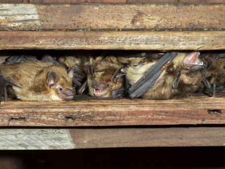 5 Reasons You Should Get Rid of Bats As Soon As Possible