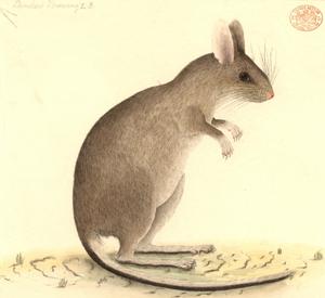 Port Jackson Painter, White Footed Tree Rat, c1788 -97
