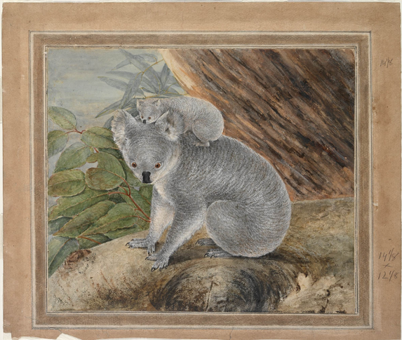 John Lewin, Koala and Young, 1803.PNG
