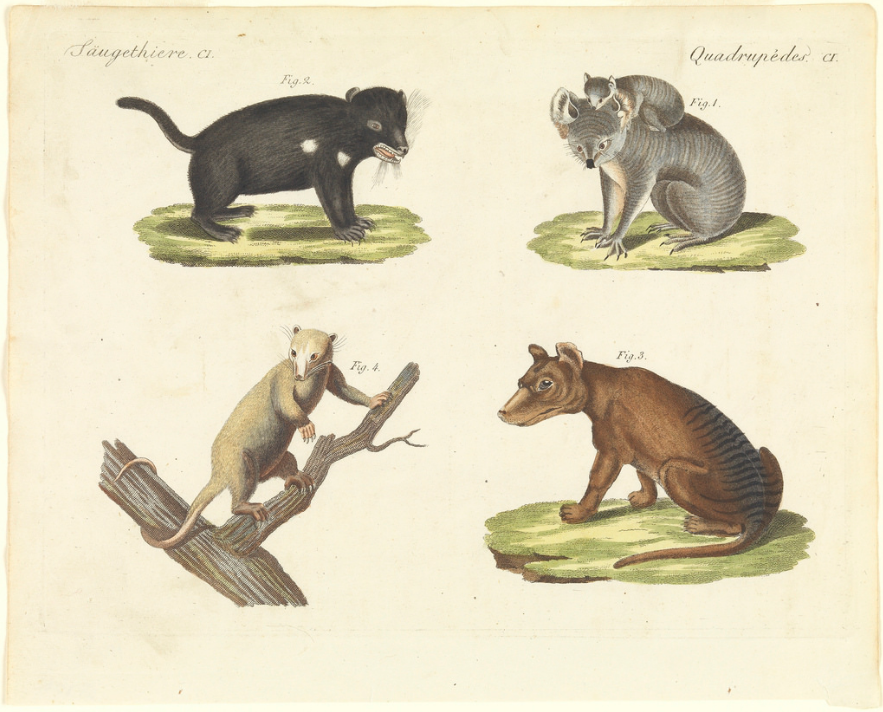 Saugethiere  Quadrupedes, Tasmanian devil, koala, possum and thylacine, drawn after George Harris and Ferdinand Bauer, published c1798 1830, Tasmania Archive and Heritage Office