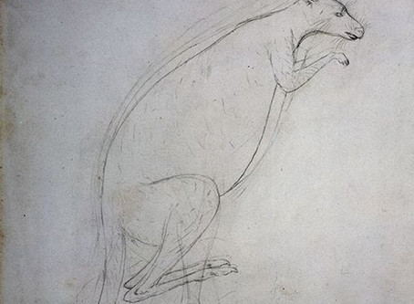 Artwork in Focus - Sydney Parkinson, Kangaroo, 1770