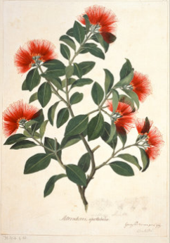 Sydney Parkinson, Metrosideros collina, metrosideros springfire, finished watercolour, 1768-1771 nhm