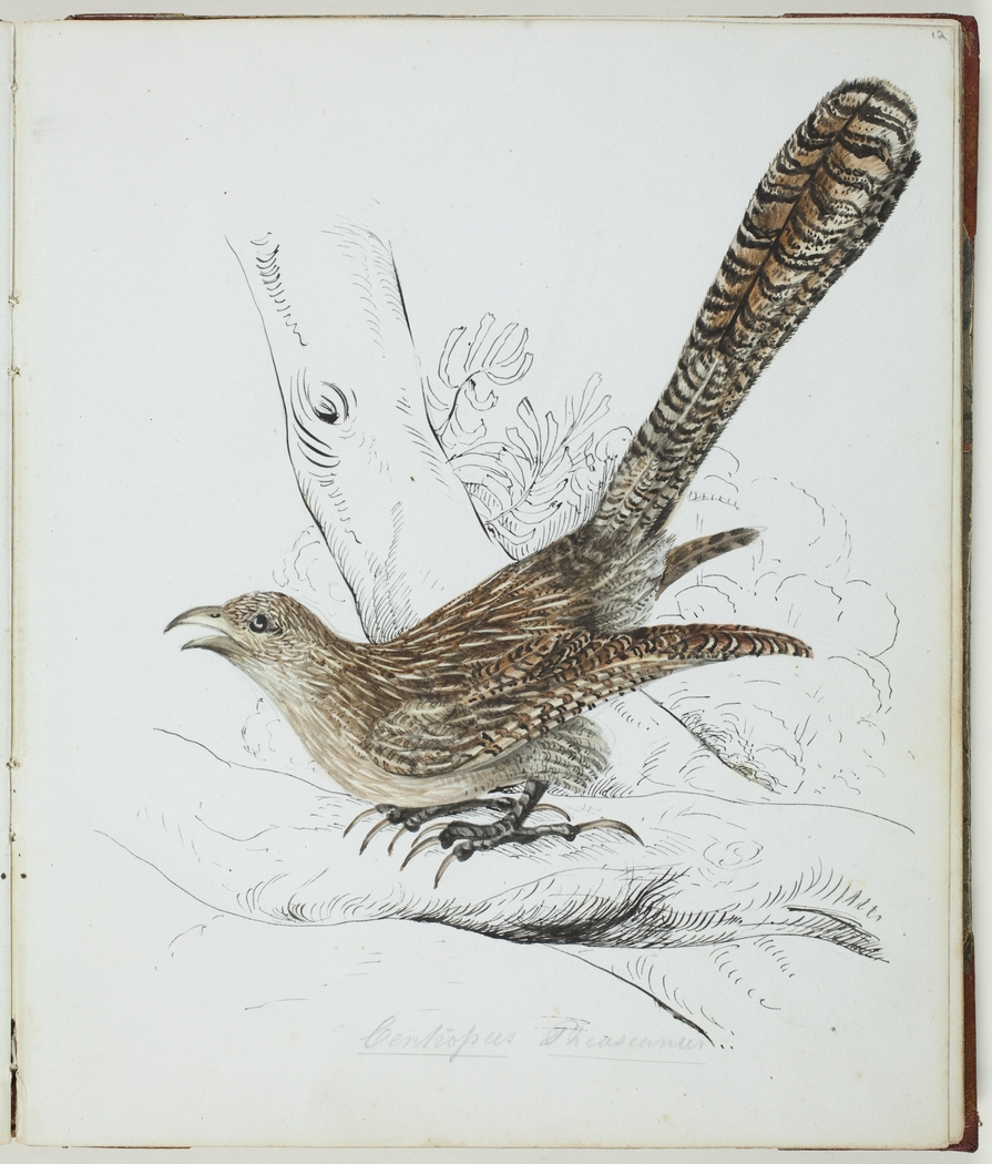 Louisa Atkinson, Bird