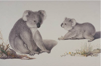 Ferdinand Bauer, Koalas,