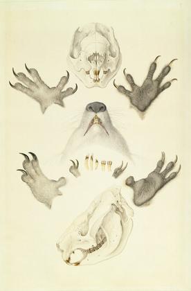 Ferdinand Bauer, [Koalas, collected at H
