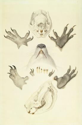 Ferdinand Bauer, [Koalas, collected at H