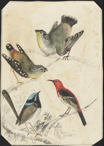 Louisa Atkinson, Spotted pardalote, Scarlet honeyeater, Superb blue wren and Striated pardalote, 186-