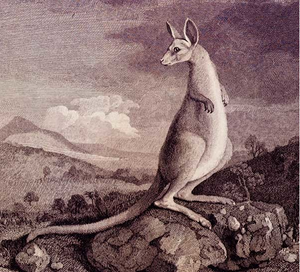 Engraving of Kangaroo after painting by George Stubbs