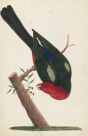 George Raper, King Parrot, 1788, National Library of Australia