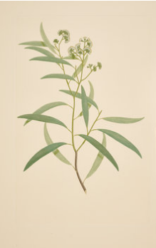Sydney Parkinson, Eucalyptus Crebra, red ironbark, Myrtaceae, 1770 (based on Parkinson's drawing) nhm