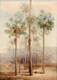 George French Angas, Cabbage Palms, Dapt