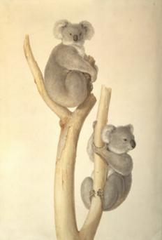 Ferdinand Bauer, Phascolarctos cinereus.