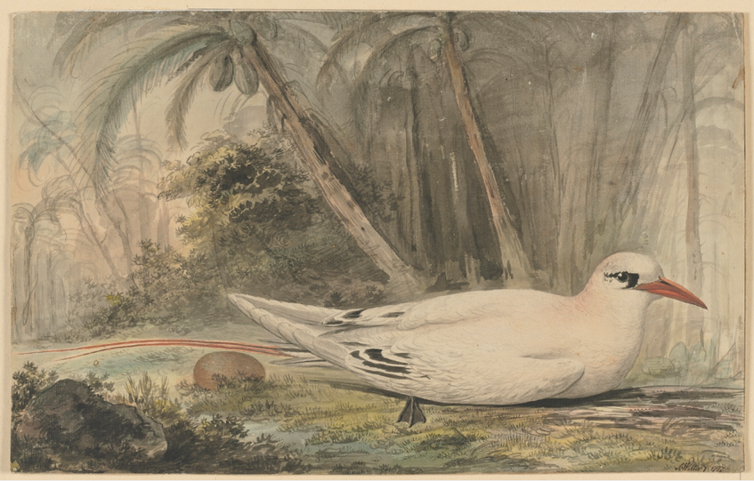 John Webber, Red-tailed tropic Bird, 1777 (State Library of New South Wales)